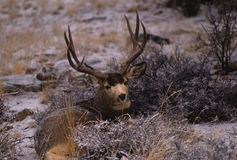 Mule Deer Buck Bedded Stock Photos