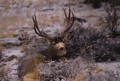 Mule Deer Buck Bedded. A nice mulie buck bedded in light snow Stock Photos