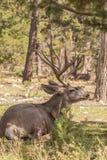 Mule Deer Buck Bedded Stock Images