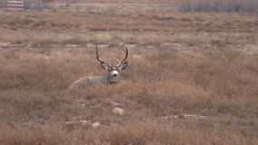 Mule Deer Buck Bedded Royalty Free Stock Images