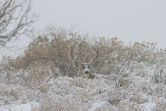 Mule Deer Buck Bedded in Snowstorm Stock Photography