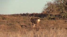 Mule Deer Buck stock video