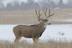 Mule Deer Buck Broadside Stock Images