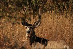 Mule Deer Buck in the Brush of Montana. Photo of a 4x3 mule deer buck in the tall grasses of Three Forks, MT Royalty Free Stock Photo