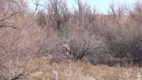 Mule Deer Buck in Brush stock video