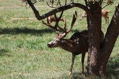 Mule deer Buck Stock Photography