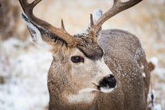 Mule Deer Buck in Snow. Wild Deer In the Colorado Great Outdoors. Mule Deer Buck Covered in Snow Portrait. Colorado Wildlife royalty free stock photos