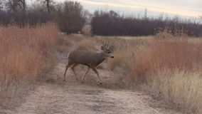 Mule Deer Buck Crossing Road stock video