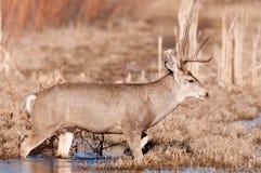 Mule deer buck crossing stream Stock Photos