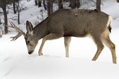 Mule Deer Buck Digging Through Snow Stock Images