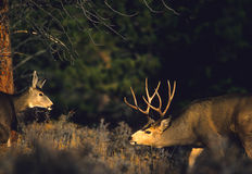 Mule Deer Buck and Doe. A mule deer buck checks out a doe during the rut Royalty Free Stock Photography