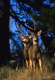 Mule Deer Buck and Doe Stock Image
