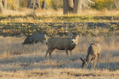 Mule Deer Buck and Doe Stock Photos