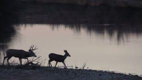Mule Deer Buck and Doe Rut stock video