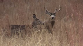 Mule Deer Buck and Doe stock video footage