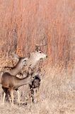 Mule deer buck and does stock photos