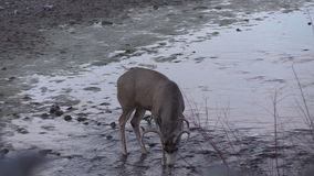 Mule Deer Buck Drinking stock video