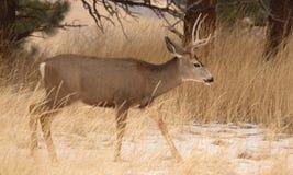 Mule Deer Buck In Early Winter Stock Image
