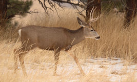 Mule Deer Buck In Early Winter. A Mule Deer buck walking through a Colorado field during early winter Stock Image