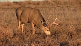 Mule Deer Buck Eating stock video footage