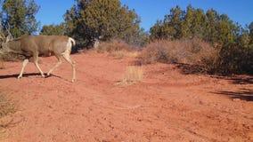 Eight point mule deer buck walking across a dirt road