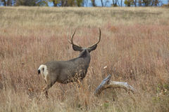 Mule Deer Buck Facing Away. A big mule deer buck stands facing away in a grass meadow Stock Image