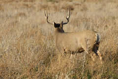 Mule Deer Buck Facing Away Stock Photo