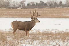 Mule Deer Buck in a Field Stock Images