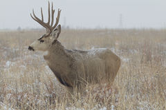Mule Deer Buck in Field Royalty Free Stock Images