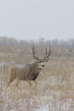 Mule Deer Buck in Field Royalty Free Stock Photo
