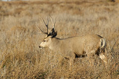 Mule Deer Buck in Field Royalty Free Stock Photos