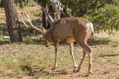 Mule Deer Buck in Forest Royalty Free Stock Photo