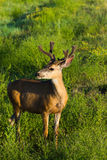 Mule Deer Buck In Grasslands. A mule deer buck grazes in the grasslands of Colorado Stock Photo