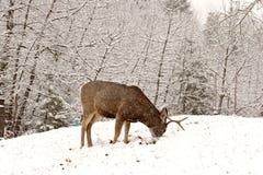 Mule Deer buck grazing. In winter Royalty Free Stock Images