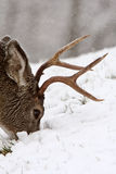 Mule Deer buck grazing Royalty Free Stock Image