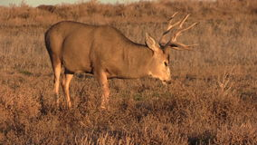 Mule Deer Buck Grazing Royalty Free Stock Photos