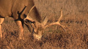 Mule Deer Buck Grazing Stock Image