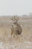 Mule Deer Buck Head On Stock Images