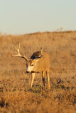 Mule Deer Buck Head On Stock Photo