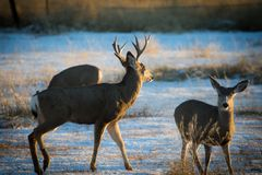 Mule Deer Buck with his Does stock photo