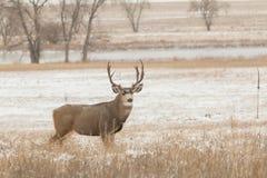 Mule Deer Buck. A huge mule deer buck in a snow covered filed Royalty Free Stock Photography
