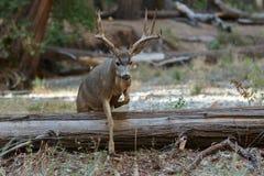 Mule deer buck jumping log. Odocoileus hemionus, California, Yosemite National Park Royalty Free Stock Images