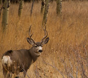 Mule Deer Buck with large antler rack Stock Photos