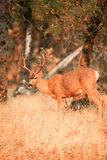 Mule deer buck with large antlers Stock Images