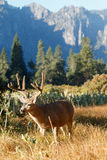 Mule deer buck with large antlers Stock Photo