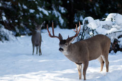 Mule deer buck with large antlers in snow Stock Photography