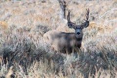 Mule Deer Buck with Large Rack royalty free stock image