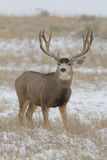 Mule Deer Buck Stock Images