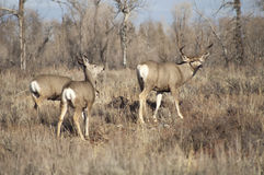 Mule Deer Buck Leading His Female Family Winter Grassland Wildlife stock photography