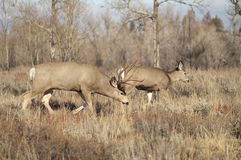 Mule Deer Buck Leading His Female Family Winter Grassland Wildli Stock Photo